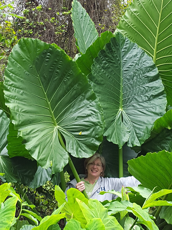 Alocasia Caladora Persian Palm Elephant Ear Plant In 4 Pot Kens