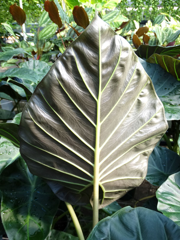 alocasia regal shields elephant ear plant in 4 u201d pot  u2013 kens