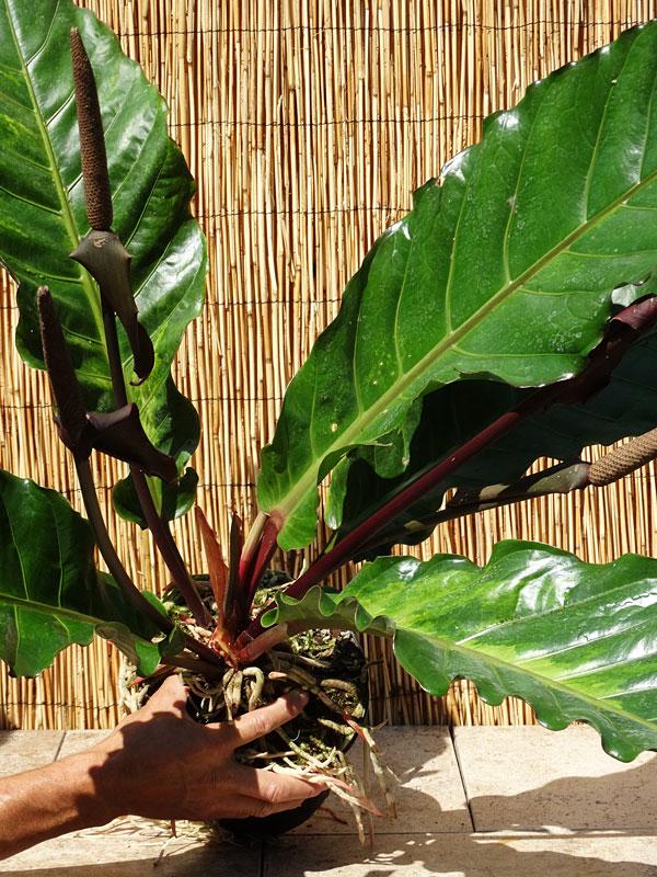 Xl Anthurium Cubense Variegata Plant In 6 Pot Kens