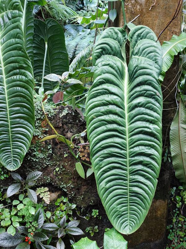 ~ KING Anthurium ~ spectaculaire Anthurium Veitchii Live LG SZ POTD Plant 18-24+in