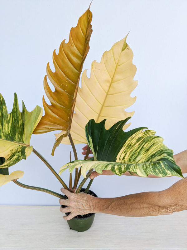Philodendron Caramel Marble #0J3-1a – Kens Philodendrons