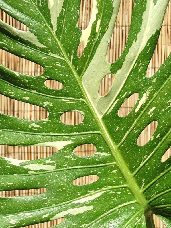 xl monstera deliciosa crema variegata plant in 8 pot. Black Bedroom Furniture Sets. Home Design Ideas