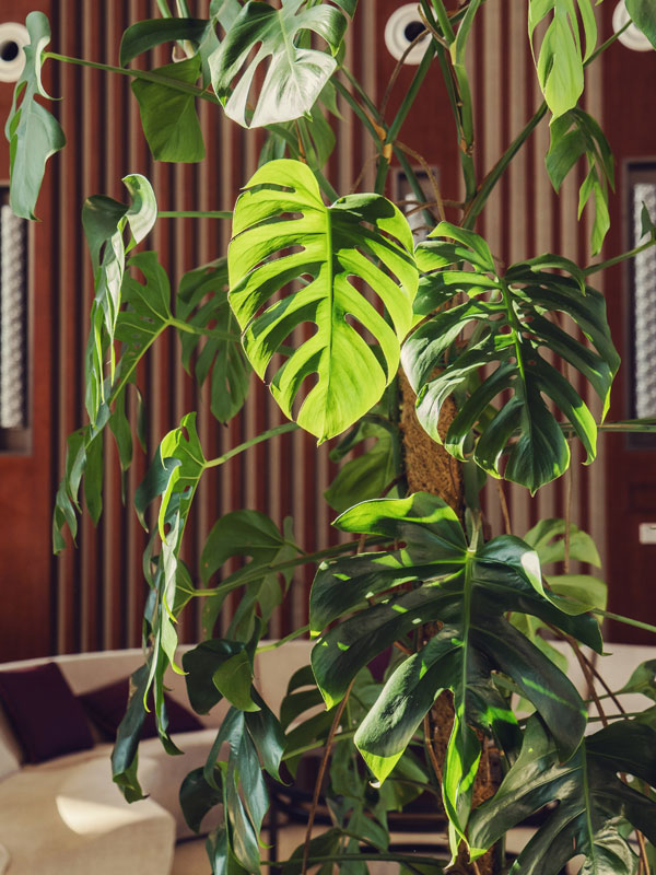 Xl Monstera Deliciosa Plant In 6 Pot Kens Philodendrons