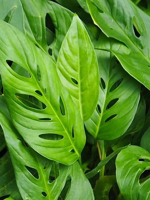 monstera friedrichsthalii swiss cheese plant in 2x2x7 u2033 pot