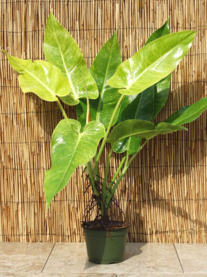 Philodendron Burle Marx Albo Variegata Plant In 6 Pot Kens Philodendrons
