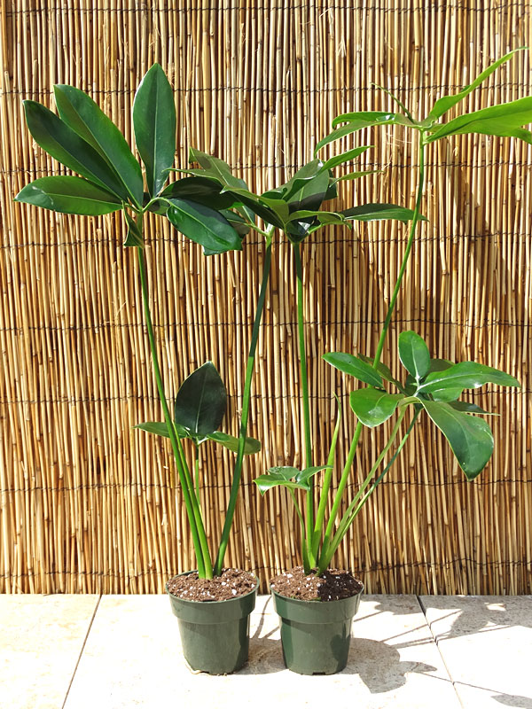 Lg Philodendron Hawaiian Finger Leaf Plant In 4 Pot
