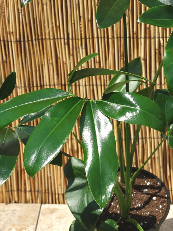 Xxl Philodendron Hawaiian Finger Leaf Plant In 8 Pot