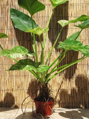 PHI-GIV-p-6-1-300x400 Philodendron As Houseplant on peace lily houseplants, tree houseplants, bromeliads houseplants, green leaf houseplants, ivy houseplants, potted houseplants, begonia houseplants, ferns houseplants, spider plants houseplants, succulents houseplants, dieffenbachia houseplants, cactus houseplants, palms houseplants,