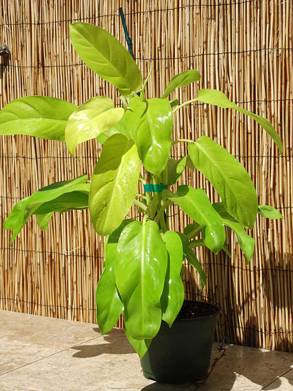 Philodendron Lemon Lime Plant In 2x2x7 Pot Kens