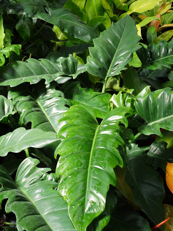 Philodendron Narrow Tiger Tooth Plant In 2x2x7 Pot Kens