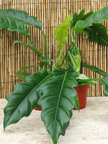 All Philodendron – Kens Philodendrons