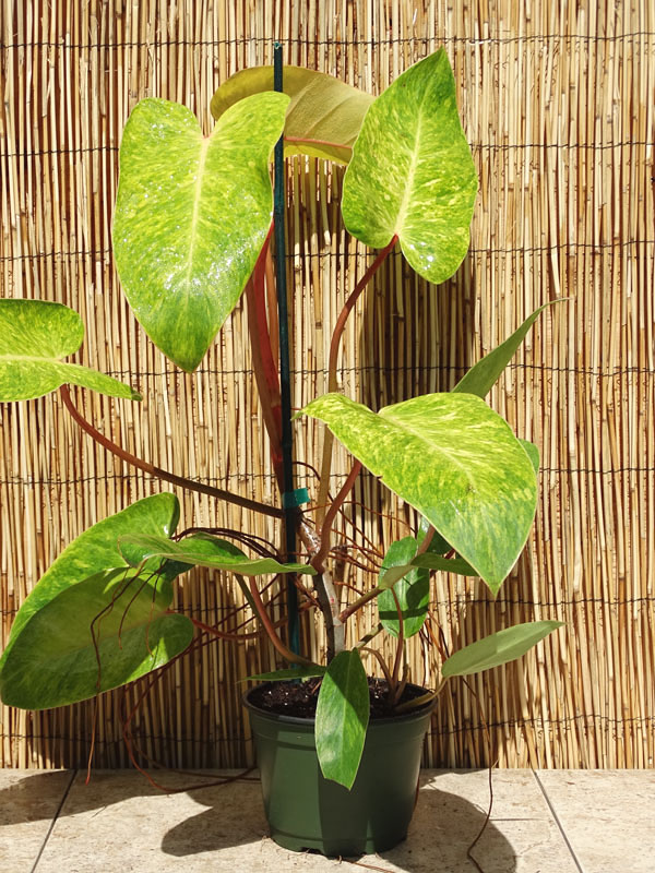 Philodendron Painted Lady Plant In 2x2x7 Pot Kens