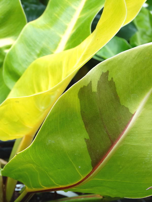 Xxl Philodendron Red Moon Plant In 8 Pot Kens Philodendrons