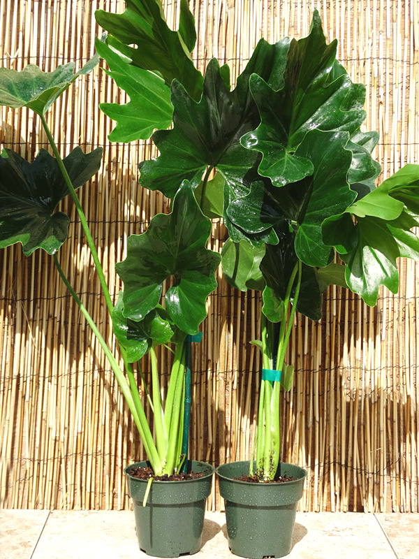 Philodendron Selloum Plant In 4 Pot Kens Philodendrons