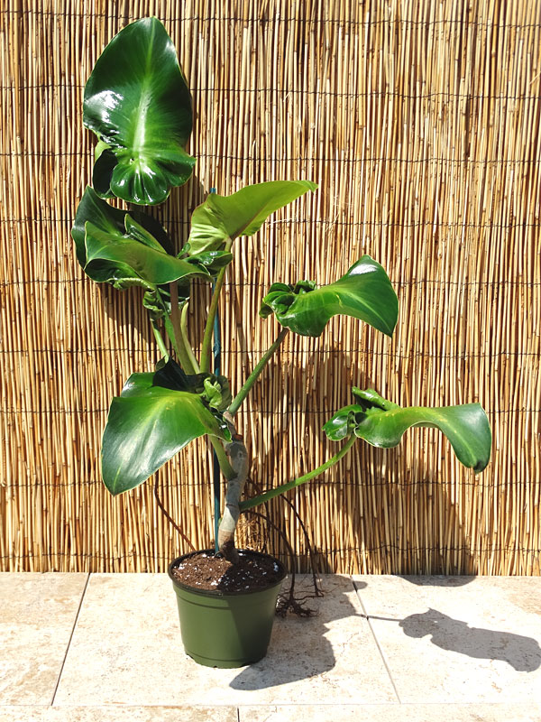 Xl Philodendron Rugosum Sow S Ear Plant In 6 Pot Kens