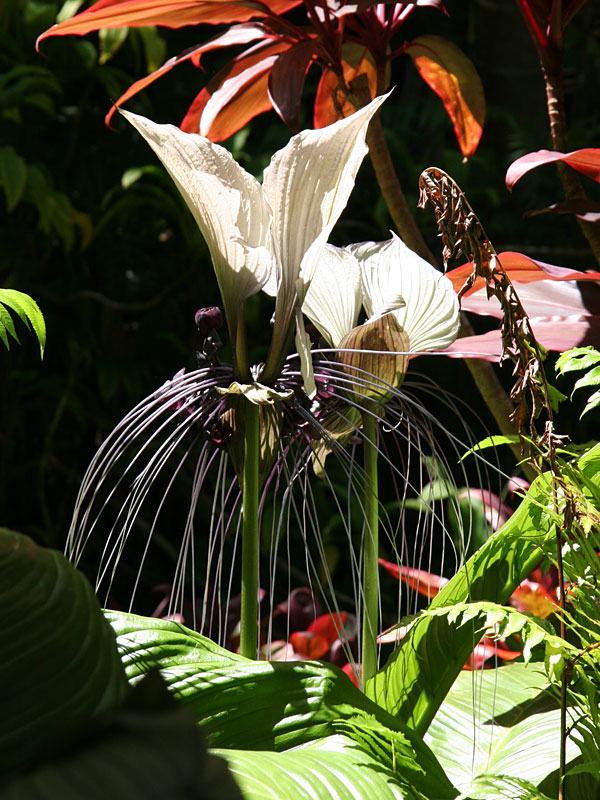 White Bat Flower Tacca Integrifolia In 4 Pot Kens Philodendrons