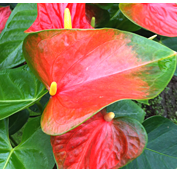 See all anthuriums.