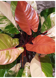 See all philodendrons.